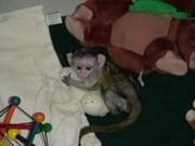 Очаровательная и здоровой капуцин обезьян по усыновлению
