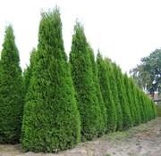 Продам садовые растения и деревья